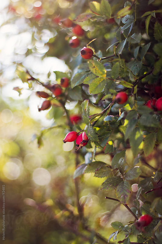 Rosehips by Helen Rushbrook for Stocksy United