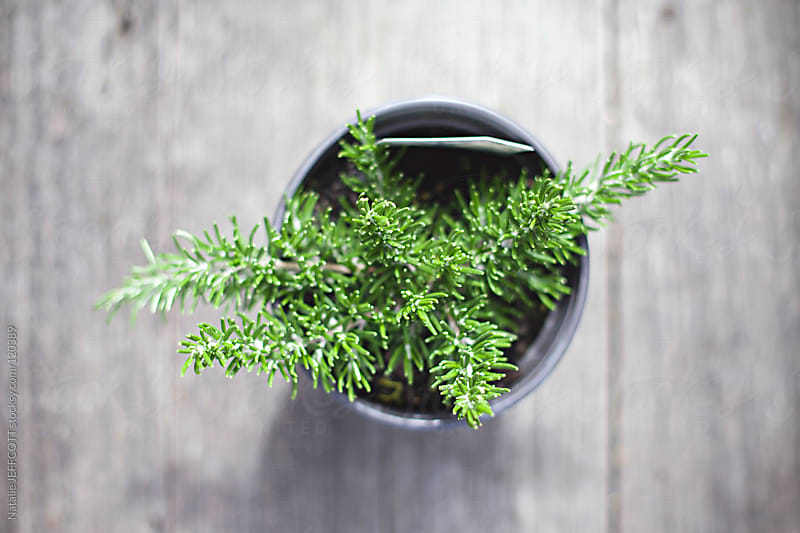 a small pot of rosemary growing by Natalie JEFFCOTT for Stocksy United