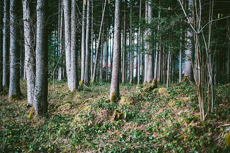 Treetrunks in a forest by Ivo de Bruijn for Stocksy United
