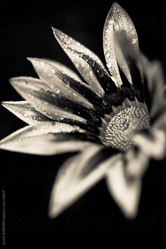 Monochrome Flower by alan shapiro for Stocksy United