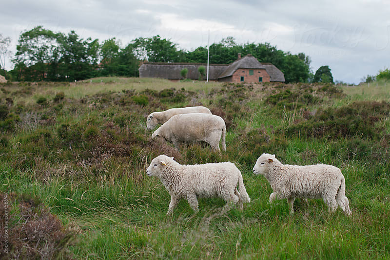 Cute lambs by Zocky for Stocksy United