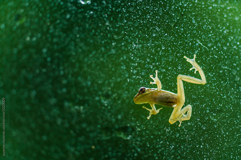 Tree Frog on the Window by suzanne clements for Stocksy United