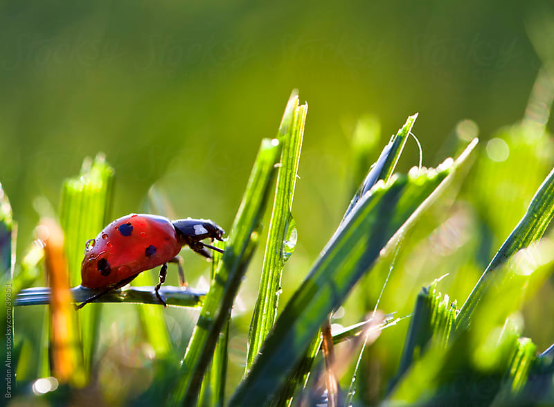 Ladybug in the Dew Covered Sunlit Grass by Brandon Alms for Stocksy United