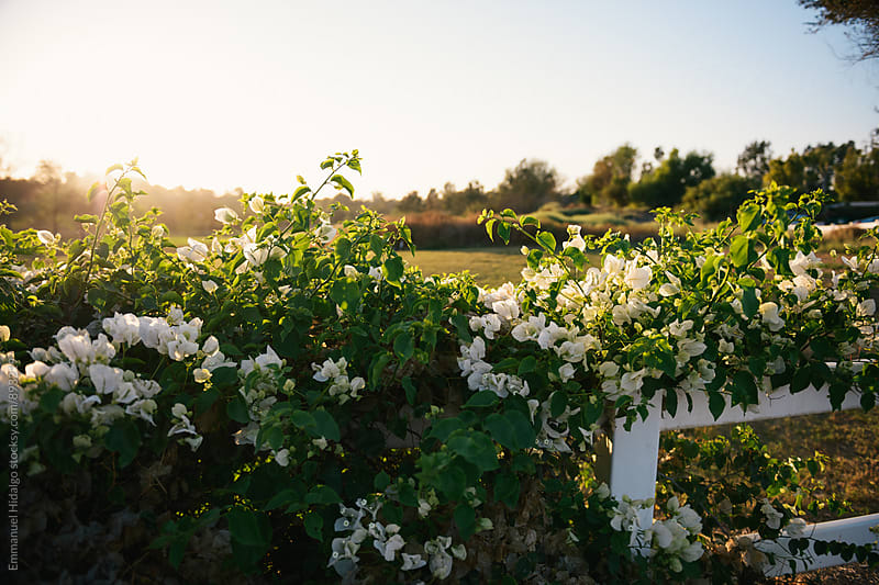 Ivy growing over fence with white flowers. Shot during sunset. by Emmanuel Hidalgo for Stocksy United
