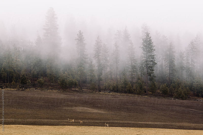 White tail deer standing in a field next to a forest. by Justin Mullet for Stocksy United