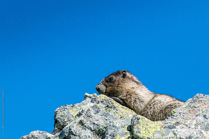 Marmota - Marmot by Lucas Brentano for Stocksy United