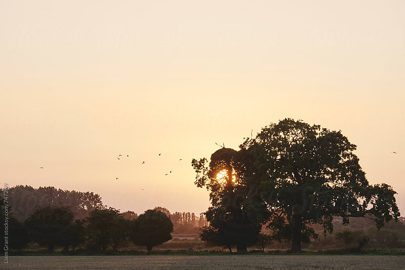 Birds flying through an orange sky as the sun sets behind a tree. Norfolk, UK. by Liam Grant for Stocksy United