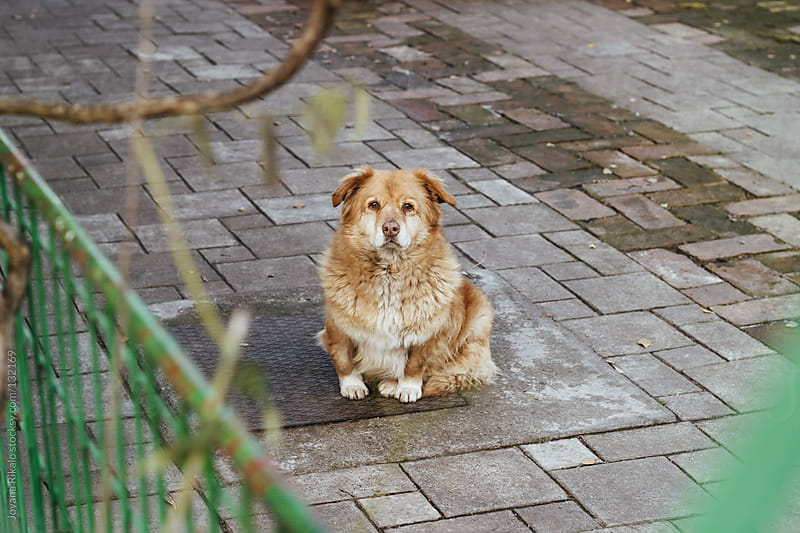 Cute little dog looking at camera by Jovana Rikalo for Stocksy United