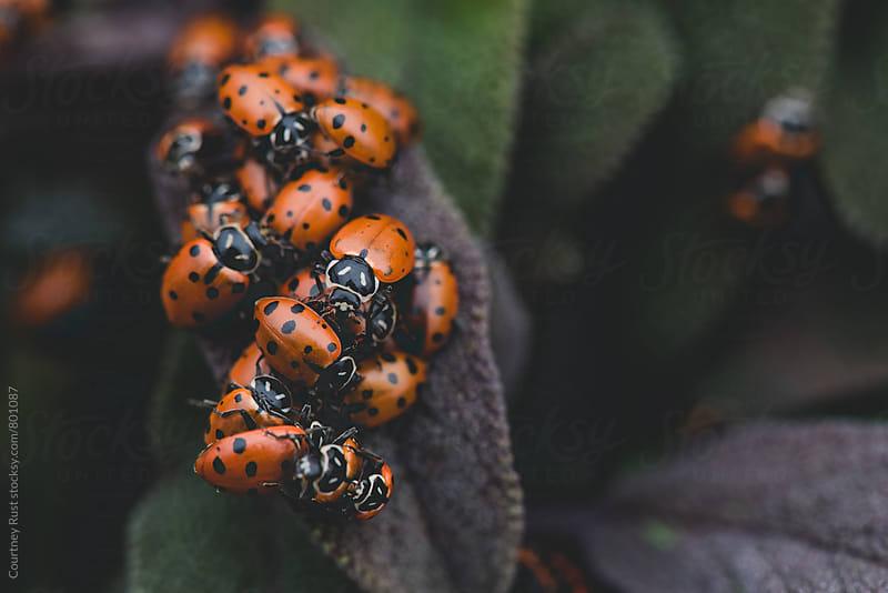 ladybug frenzy by Courtney Rust for Stocksy United