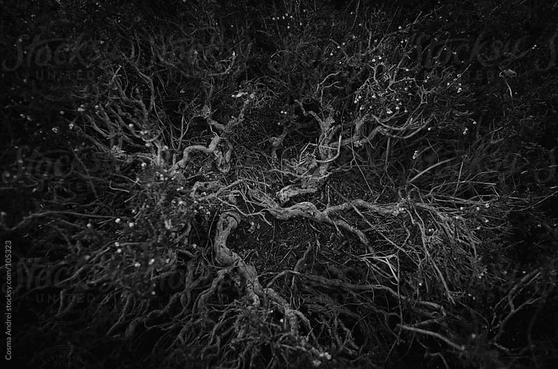 Abstract black and white photo of juniper by Cosma Andrei for Stocksy United