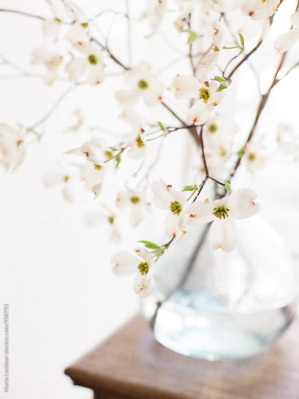 Dogwood blossoms and branches by Marta Locklear for Stocksy United
