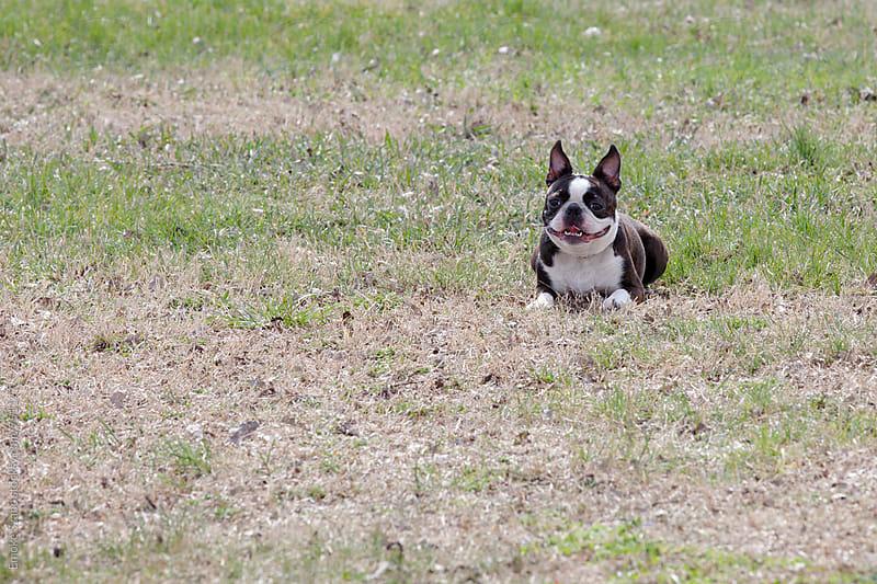 Boston terrier puppy by Emoke Szabo for Stocksy United