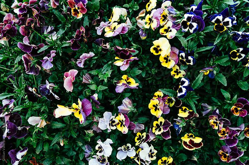 overhead view of pansies in the garden by Gillian Vann for Stocksy United