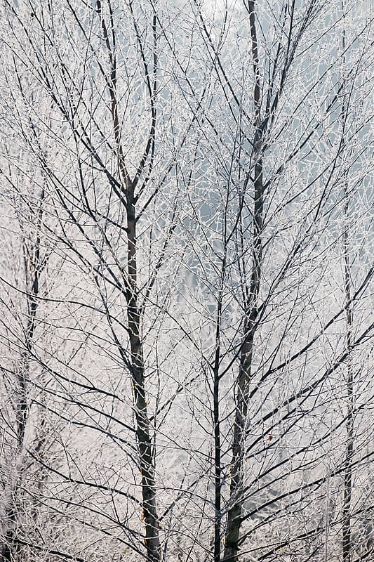 Young trees covered in a thick white frost. Norfolk, UK. by Liam Grant for Stocksy United