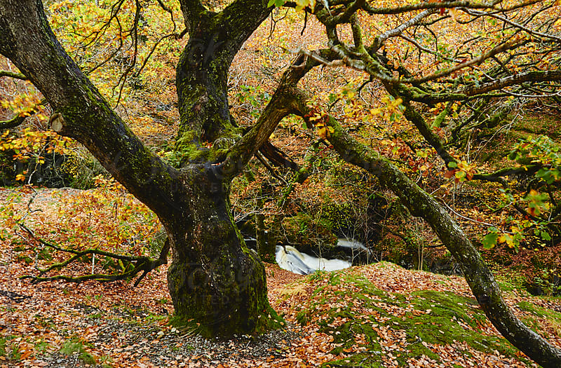 Autumnal woodland. Cumbria, UK. by Liam Grant for Stocksy United