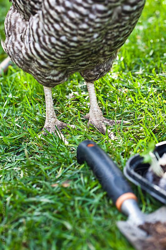 Backyard Chicken by Jill Chen for Stocksy United