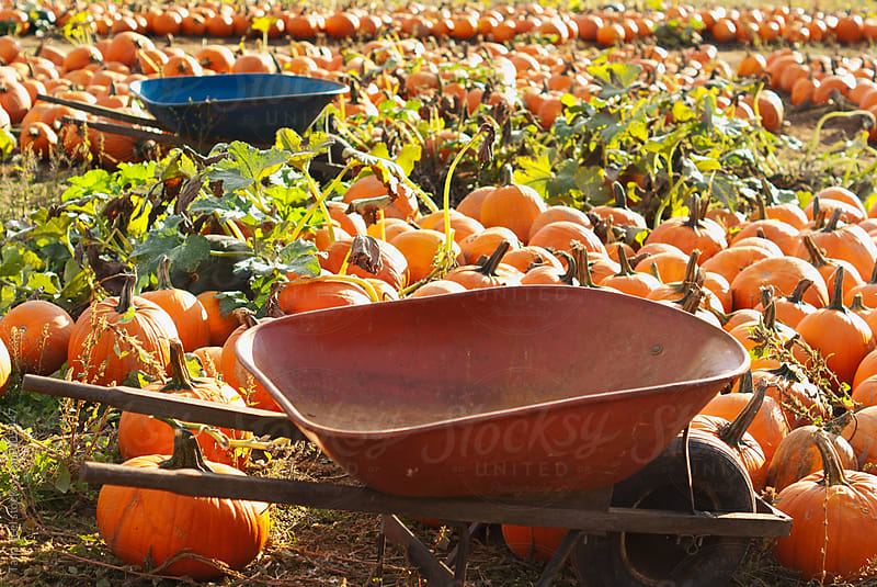 Two wheelbarrows sit among rows of pumpkins in a patch by Tana Teel for Stocksy United