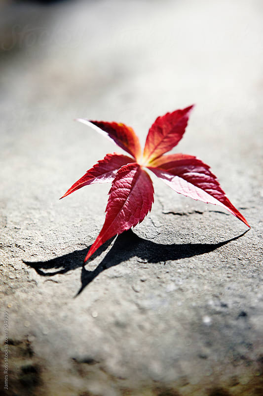 Red Virginia creeper flower on stone ground by James Ross for Stocksy United