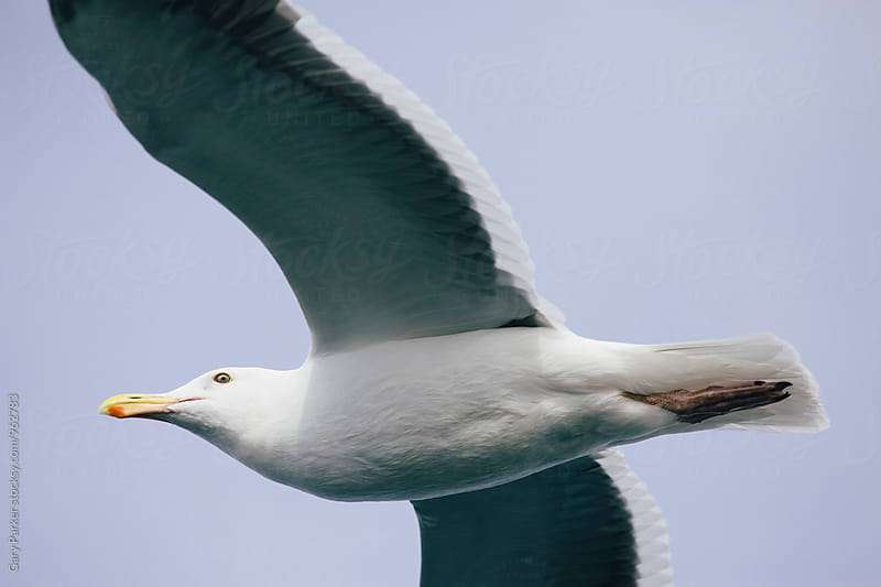 Seagull by Gary Parker for Stocksy United