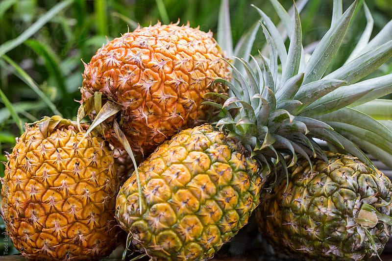 Tropical pineapples picked fresh from the fields by Todd Beltz for Stocksy United