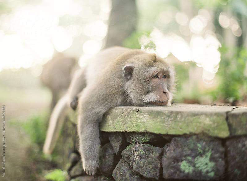 Monkey Forest Ubud Bali  by Vicki Grafton Photography for Stocksy United