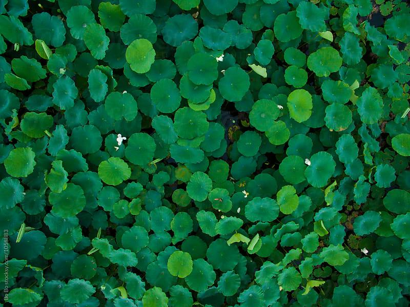 aerial view of lotus full of lake  by Bo Bo for Stocksy United