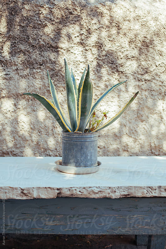Cactus by Aaron Thomas for Stocksy United