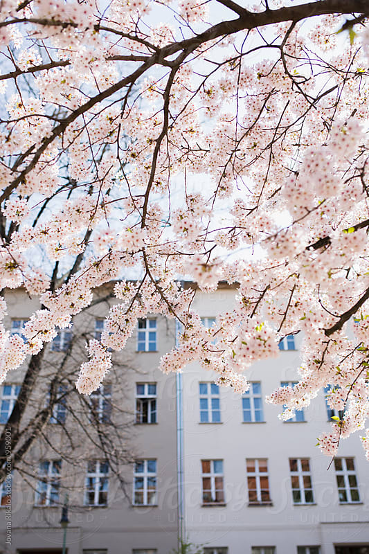 Cherry Blossom in the city by Jovana Rikalo for Stocksy United