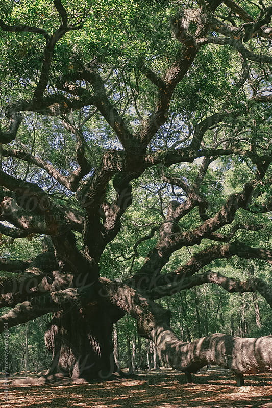 Angel Oak near Charleston by Shelly Perry for Stocksy United