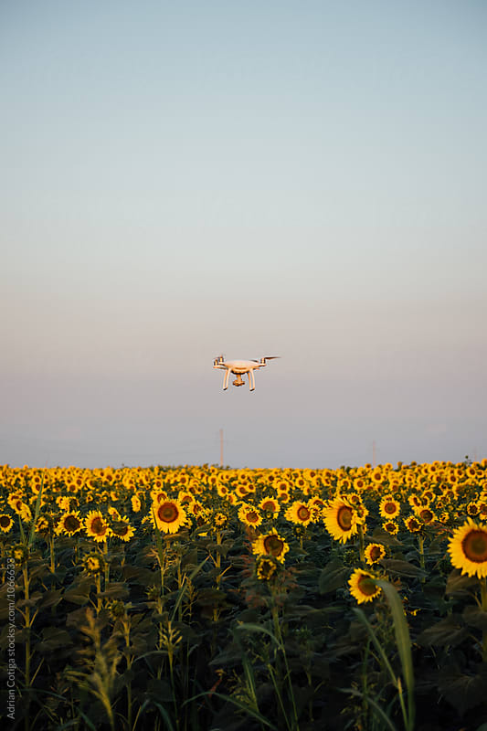 Drone flying over field of blooming sunflowers by Adrian Cotiga for Stocksy United