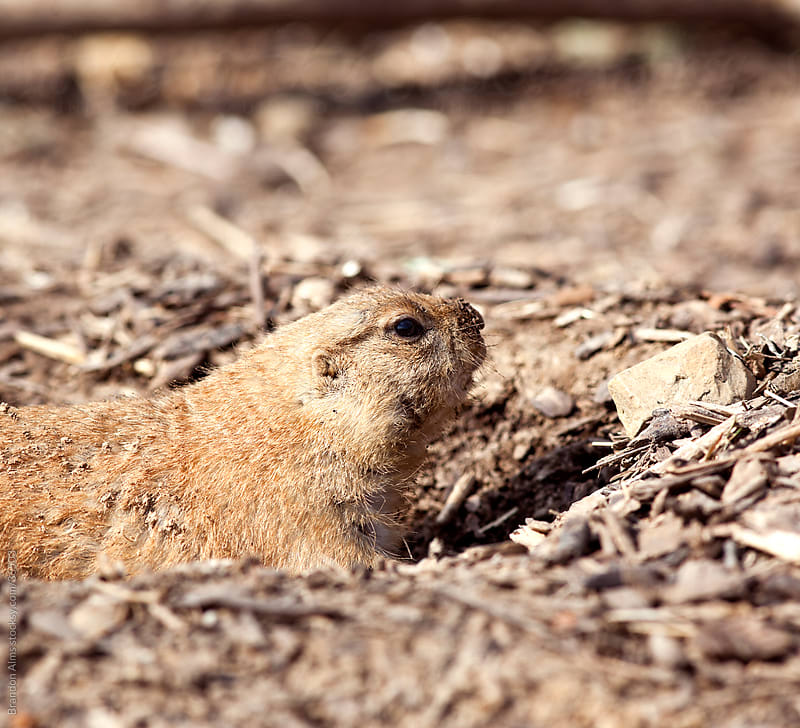 Prairie Dog Closeup Burrowed in a Hole in the Ground by Brandon Alms for Stocksy United