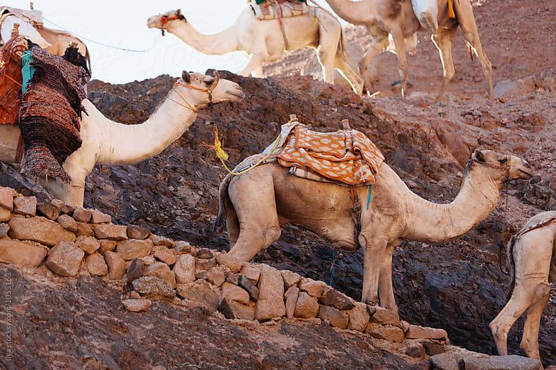 Camel caravan in Egypt Sinai desert by Ilya for Stocksy United