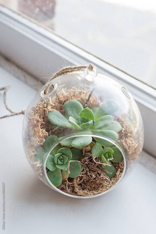 succulent terrarium by the window by Gillian Vann for Stocksy United