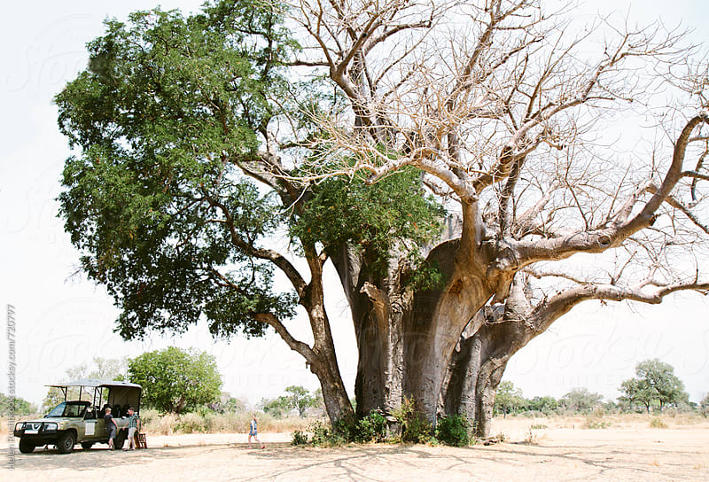 A large and ancient Baobab tree in Africa, with a safari vehicle parked in the shade of it. by Helen Rushbrook for Stocksy United