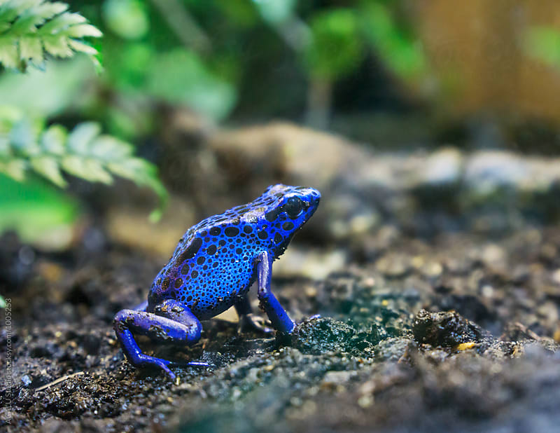 Blue frog by ACALU Studio for Stocksy United