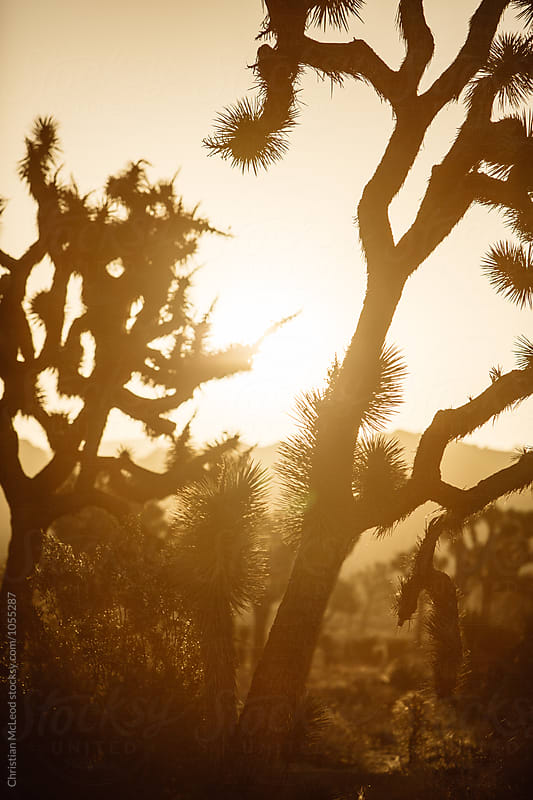 Joshua Tree. by Christian McLeod Photography for Stocksy United