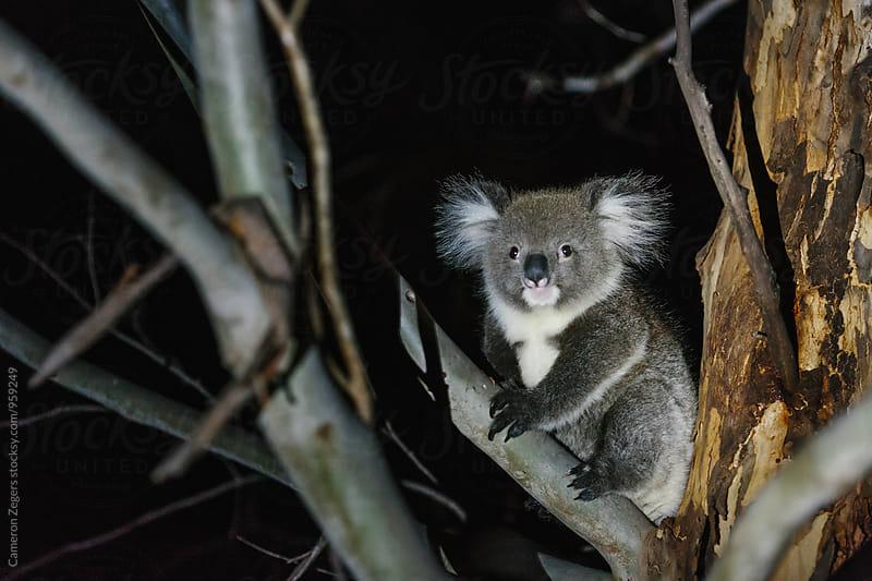 baby koala at night by Cameron Zegers for Stocksy United