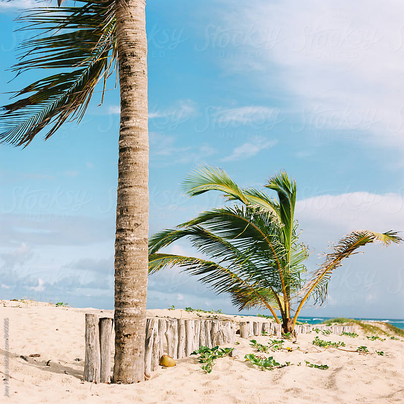 Palm tree stands guard on the boarder between beach resort and Dominican jungle by Joey Pasco for Stocksy United