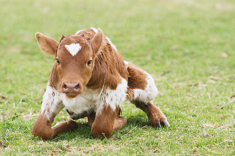 A newborn calf attempts to get to his feet for the first time by Tana Teel for Stocksy United