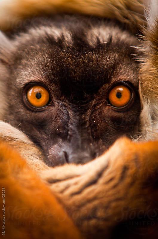 Red Ruffed Lemur by Mark Korecz for Stocksy United