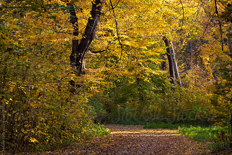 Fall Forest with the sun shining through by Melanie Kintz for Stocksy United