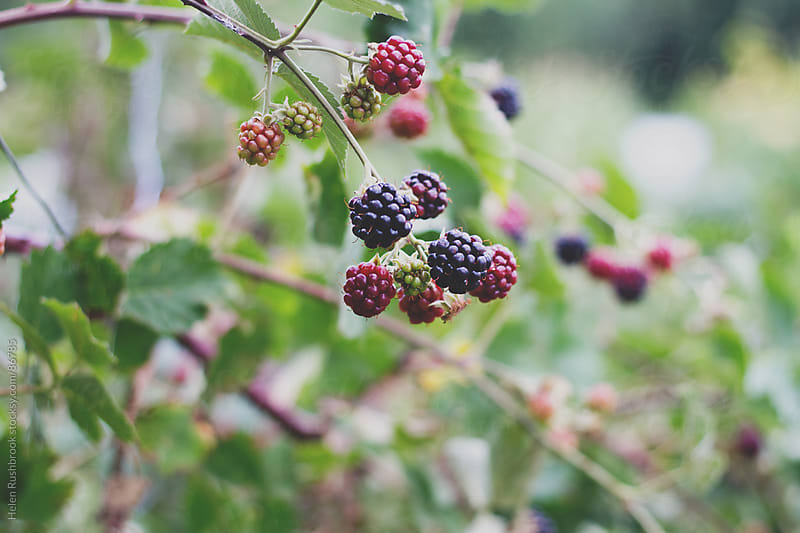 Blackberries ripening on a bush by Helen Rushbrook for Stocksy United