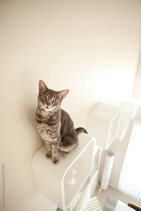 Cat on shelf by Asami Zenri for Stocksy United