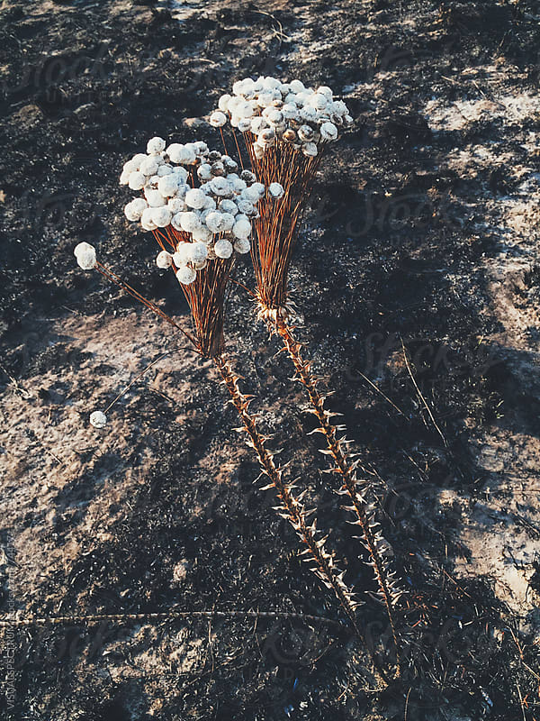 New Life - Plant Growth After Devastating Bushfire by Julien L. Balmer for Stocksy United
