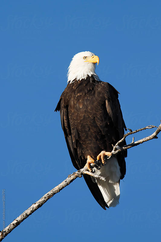 Bald Eagle by Paul Tessier for Stocksy United