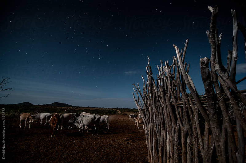 Cattle at night in hamer village by David Navais for Stocksy United
