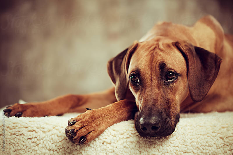Cute pedigreed dog resting indoors. by Mosuno for Stocksy United