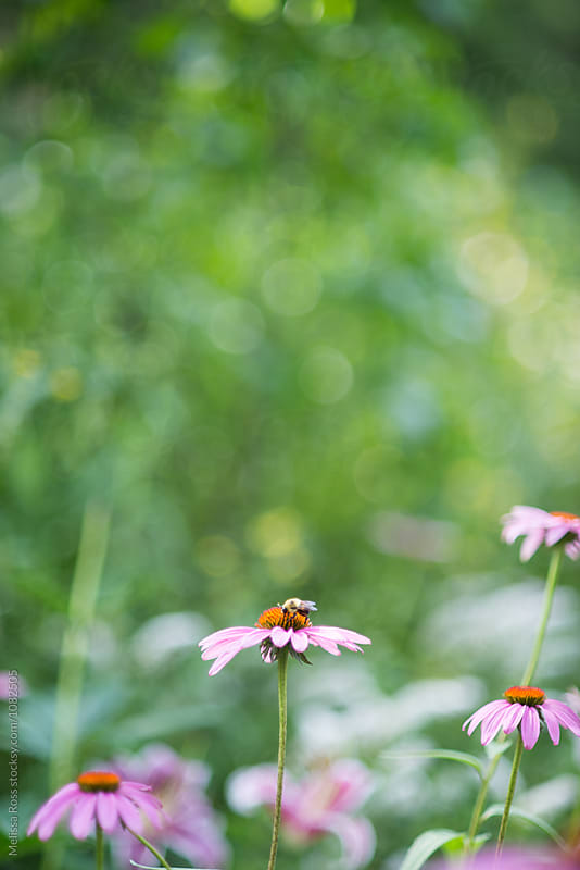 Bee on a purple coneflower. by Melissa Ross for Stocksy United