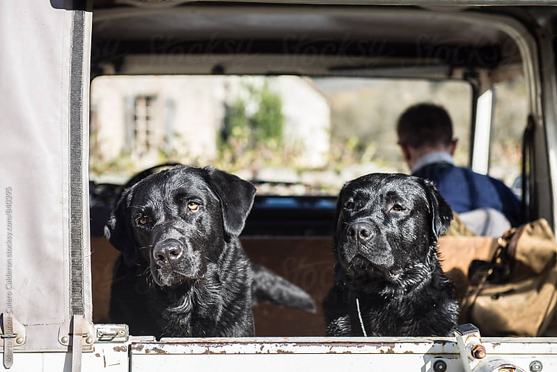 Black Labs stuck in a hunting car ready to go hunting by Marta Muñoz-Calero Calderon for Stocksy United