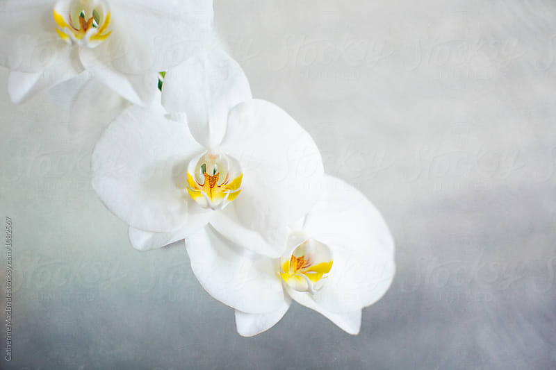 White Orchids... by Catherine MacBride for Stocksy United